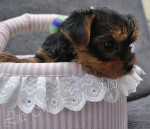 купить щенка йорка