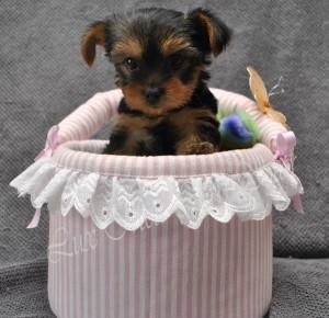щенок йоркширского треьера продается
