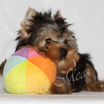 щенок йоркширского терьера фото щенка