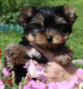 щенок йоркширского терьера фото
