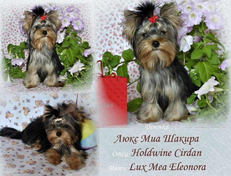 йоркширский терьер фото щенка Шакира