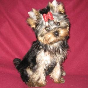 на фото щенок йоркширского терьера