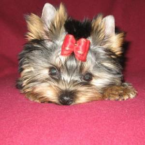 Йоркширский терьер щенок