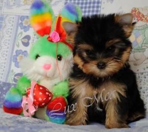 щенок йорка фото