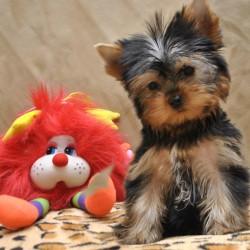 йоркширский терьер продается щенок