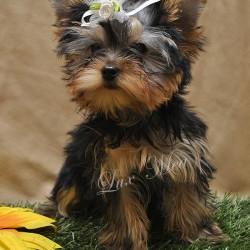 йоркшир терьер щенок фото