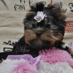 фото щенка йорка, миниатюрный мальчик