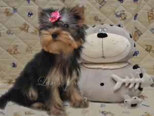 фото щенка йоркширский терьер