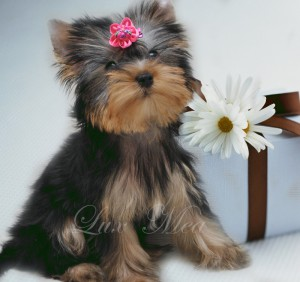 фото щенка йоркширского терьера купить