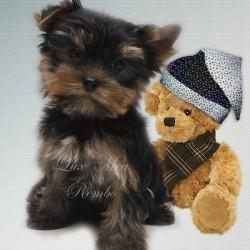 щенок йорка продает питомник СПб