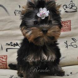 щенок йоркширского терьера миниатюрный