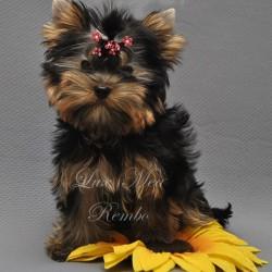 йоркширский терьер щенок фото