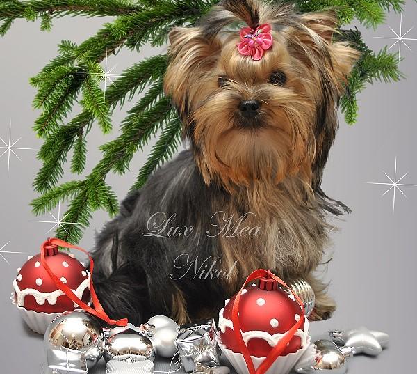 фото щенка йоркширского терьера