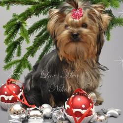 На фото щенок йоркширского терьера питомник СПб