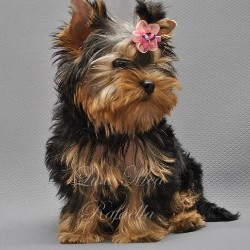 фото щенка йоркширского терьера питомник