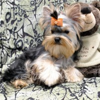 photo-shenka-yorkshire-terrier-sheridan