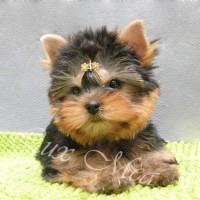 Фото щенка йорка девочка Люкс Миа Лилу