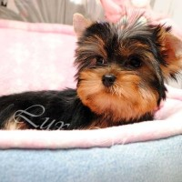 puppy_yorkshire_terrier_joker