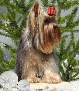 йоркширский терьер фото щенок