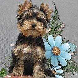 yorkshire-terrier-boy