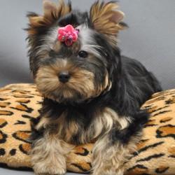 yorkshire-terrier-elista
