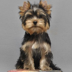 yorkshire-terrier-shenok-boy