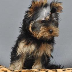 yorkshire-terrier-shenok-elista