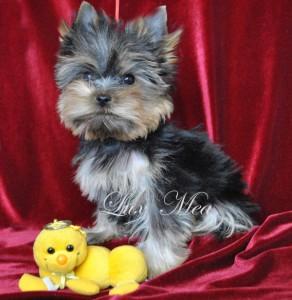puppy-yorkshir-terrier-tony
