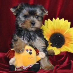 yorkshir-terrier-glamour-ulmira