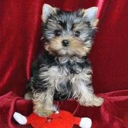 yorkshir-terrier-glamour-yilsi