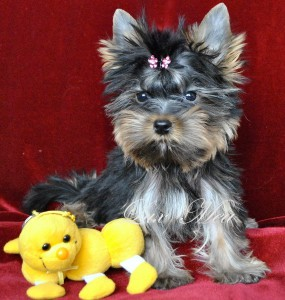 yorkshir-terrier-puppy-mini-tobby