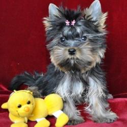 yorkshir-terrier-puppy-pitomnik-tobby