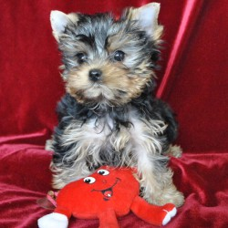 yorkshir-terrier-puppy-yilsi