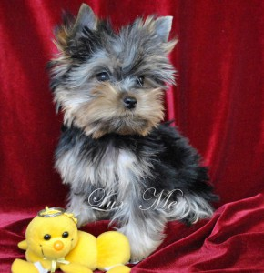 yorkshire-terrier-puppy-tony