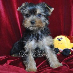 yorkshire-terrier-puppy-ulmira