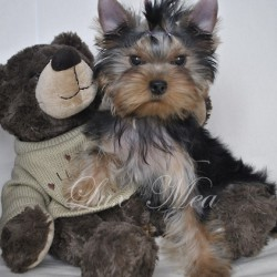 photo-shenka-yorkshire-terrier-ulmira
