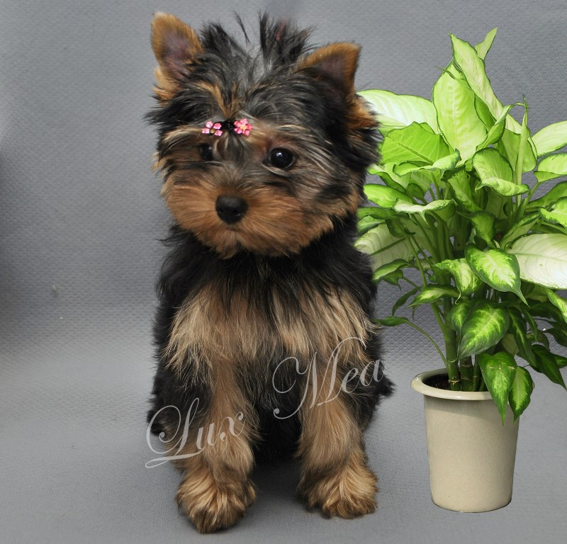 puppy-yorkshir-terrier-fler