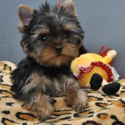 puppy-yorkshir-terrier-franzuaza