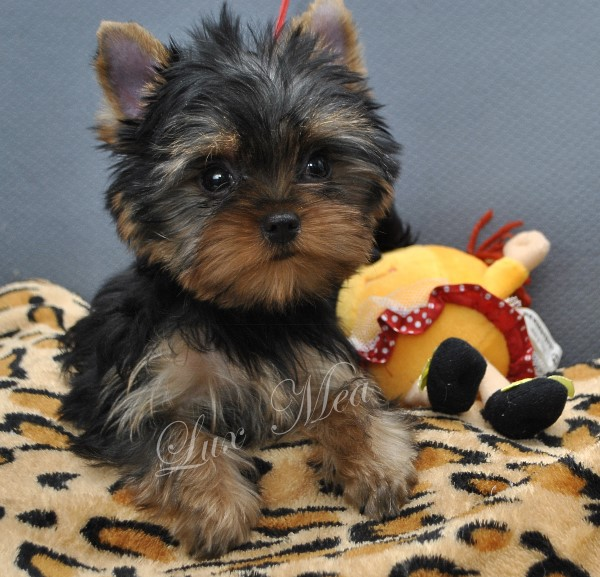 puppy-yorkshir-terrier-franzuaza