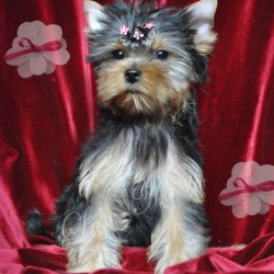puppy-yorkshir-terrier-ulmira