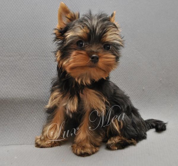 yorkshir-terrier-puppy-flint