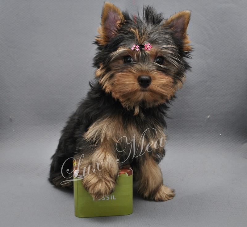 yorkshir-terrier-puppy-glamour-fler