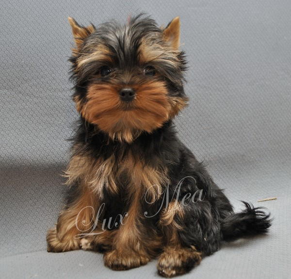 yorkshir-terrier-puppy-glamour-flint
