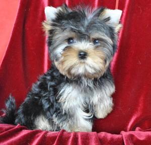 yorkshir-terrier-puppy-glamour-uilsy