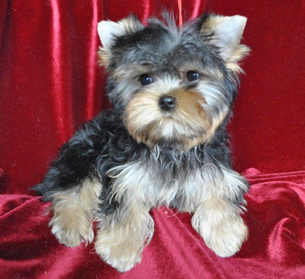 yorkshir-terrier-puppy-mini-uilsi