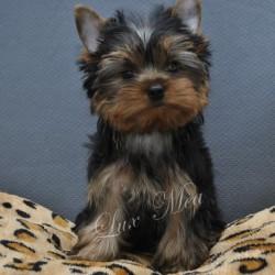yorkshir-terrier-puppy-pitomnik-felizija