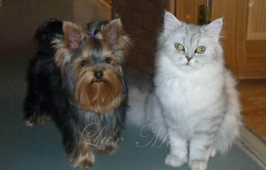 Фото йоркширского терьера очаровательной Рафаэллы и кошечки Сильвы