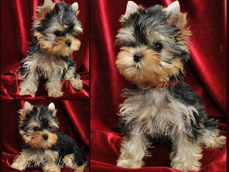 Красивый щенок йоркширского терьера Чаровница