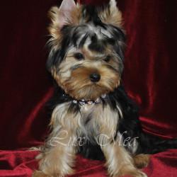 фото щенка йоркширского терьера мальчик Чинг