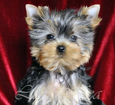 foto-yorkshir-terrier-puppies-shamira